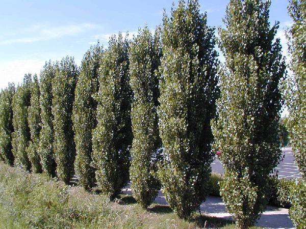 Crown Reduction Lombardi Poplar Trees